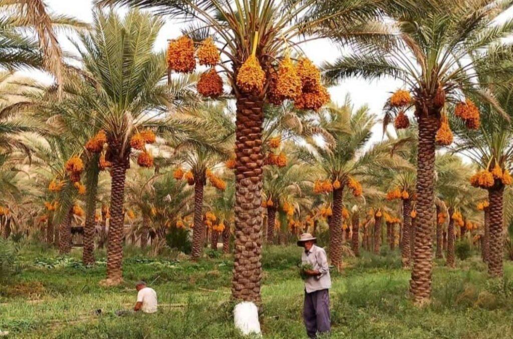 Dates harvest time