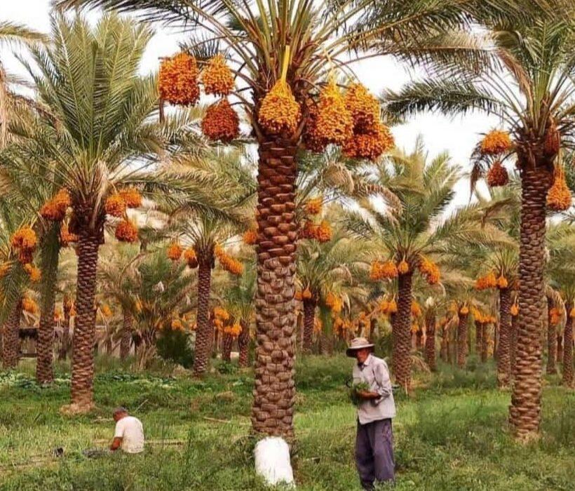 when to import Mazafati Dates